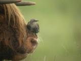 Spreeuw / Common Starling