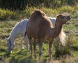 Camel on San Juan Island