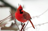 8. Tanagers through Finches