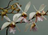 Holcoglossum wangii, flowers 2 cm