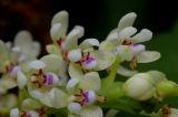 Tuberolabium kotoense, flowers 7 mm