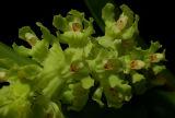 Gomesa recurva, flowers 2 cm