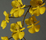 Oncidium onustum, flowers 12 mm