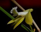 Dendrobium bowmannii, botanic, 2 cm