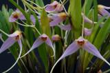 Masdevallia lilacina 5 cm