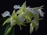 Dendrobium finisterrae alba, flowers 3.5-4 cm