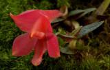 Dendrobium cuthbertsonii,  red phase, flower 2 cm
