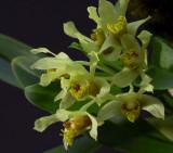 Dendrobium delacourii,  Ueang Dok Ma Kham,  flowers 2 cm