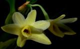 Dendrobium planibulbum, 2 cm