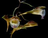Galeandra pubicentrum