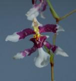 Oncidium incurvum, flower 1½ cm