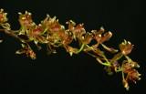 Oncidium peltiforme, botanic, flowers 3 cm