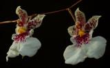 Caucaea  phalaenopsis, botanic