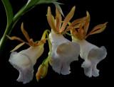 Galeandra stangeana, botanic, flowers 5 cm