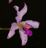 Cattleya amethistoglossa