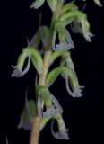 Cyclopogon lindleyanum, flowers 0.5-1.0 cm