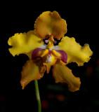Gallery Cyrtochilum, Dasyglossum orchids