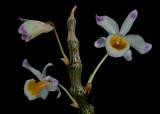 Dendrobium pendulum, Mai Thao Rusi, Wai Pom