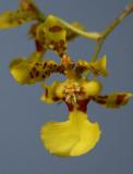 Oncidium pictum , botanic , 2 cm