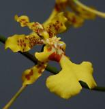 Oncidium pictum, botanic , 2 cm