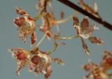 Oncidium andradeanum, botanic  1.5 cm
