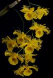 Dendrobium harveyanum,  Ueang Kham Foi, 3 cm