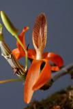 Dendrobium unicum, Ueang Sai Si Saet, 3 cm