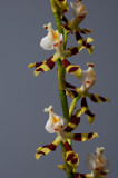 Solenidiopsis tigroides , 2.5 cm