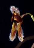 Condylago rodrigoi,  botanic , 1 cm