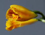 Scelochilus otronis, 1.5 cm