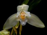 Lycaste frank hoyt, flower 10 cm