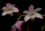 Dendrobium kingianum, 2 cm