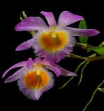 Dendrobium loddigesii ,  flowers 5-6 cm