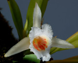 Plectrophora triguetra, flower 2 cm