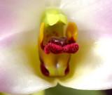 Dendrobium trantuanii, lip