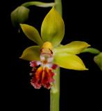 Calanthe tricarinata, botanic, 2.5 cm
