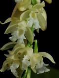 Pholidota ventricosa, 2 cm