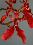 Renanthera species