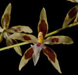 Oncidium aurarium, about 5 cm