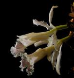 Trichopilia suavis
