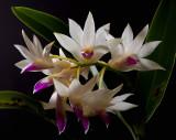 Dendrobium amethistoglossum