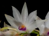 Dendrobium amethistoglossum, close