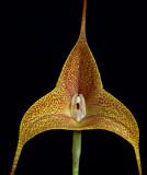 Masdevallia  instar,  close  4 cm