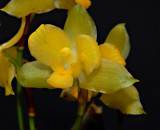 Lycaste campellii, flower 3 cm