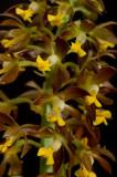Calanthe mannii ,  0.8 cm