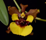 Oncidium croescus, close