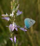 Bloemenblauwtje man  op Campanula sp.