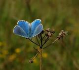 Adonis blauwtje man, Polyommatus bellargus
