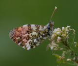 Oranjetip man onder, bladluizen op de bloemstengel