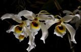 Dendrobium signatum,  Ueang Kham Kiu